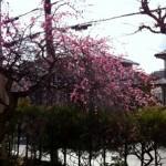 イベント おうち住み開き 「新春梅見会」を開きました。