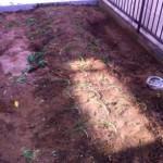 ありがとうの家の庭に玉ねぎを植えました
