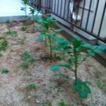 庭に植えたじゃがいもが育って来ました